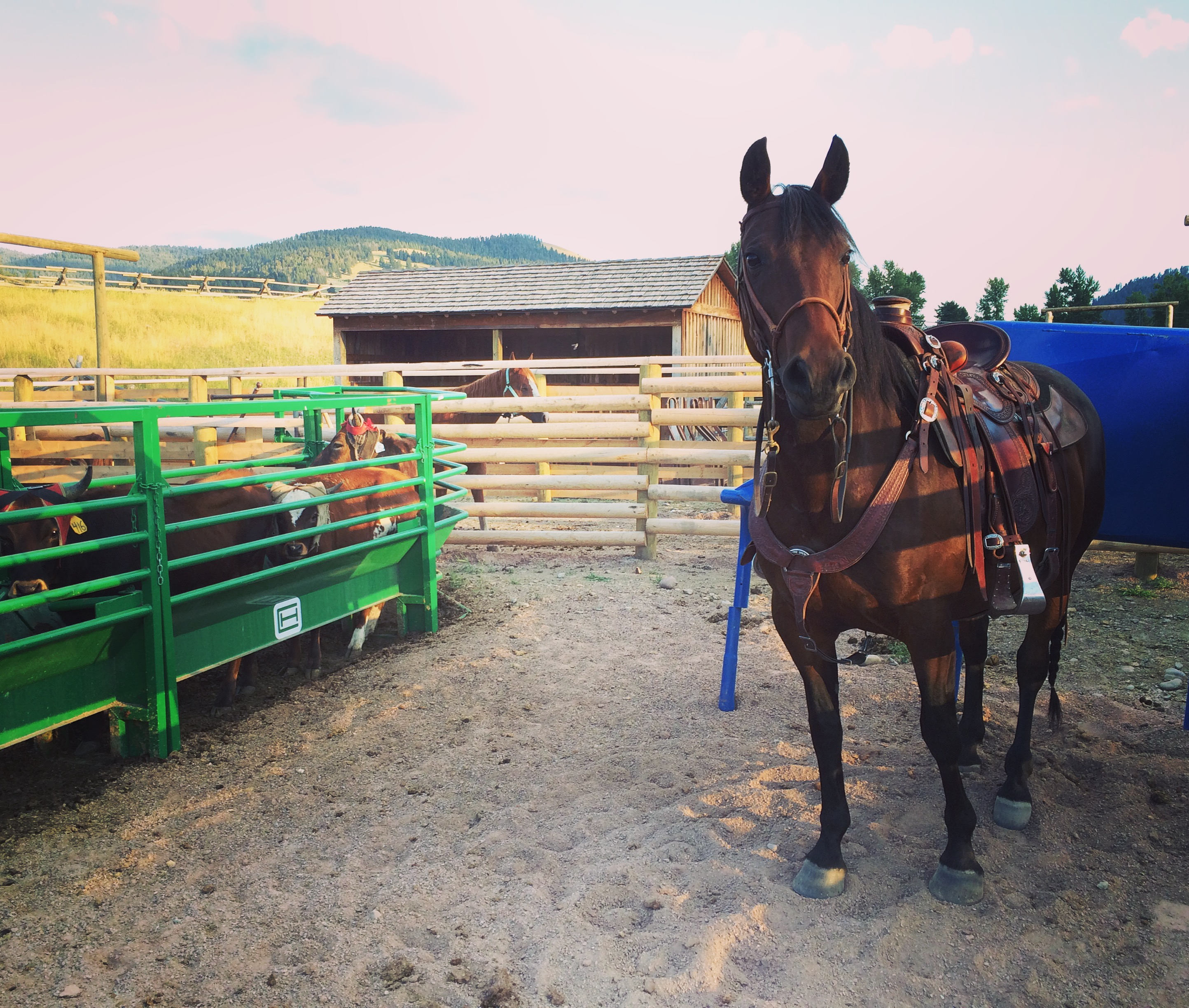 Bay Morgan Mare owned by Bar M Morgans in Roping Box